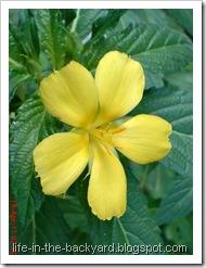 Turnera ulmifolia_ramgoat dashalong 6