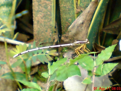 Copera marginipes_Yellow Featherlegs_capung jarum 02