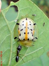 Aspidomorpha miliaris_tortoise beetles 01