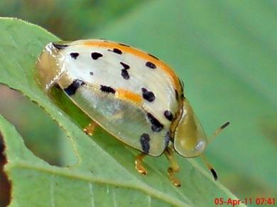 Aspidomorpha miliaris_tortoise beetles 06