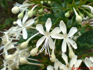 Clerodendrum calamitosum_Kembang Bugang_White Butterfly 05