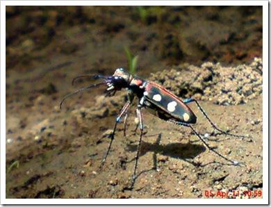 Cicindela aurulenta_Spotted Tiger Beetle_Kumbang 3