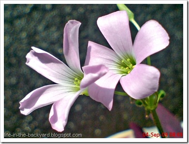 Oxalis triangularis_False Shamrock 9