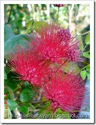 Calliandra tergemina_Kaliandra_Powderpuff Plant 02