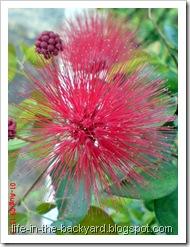 Calliandra tergemina_Kaliandra_Powderpuff Plant 09