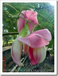 Sesbania grandiflora_turi merah 63