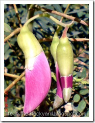 Sesbania grandiflora_turi merah 17b