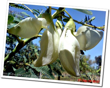 Sesbania grandiflora_turi putih 09