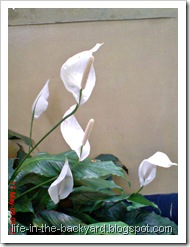 Spathiphyllum wallisii_Peace Lily 09