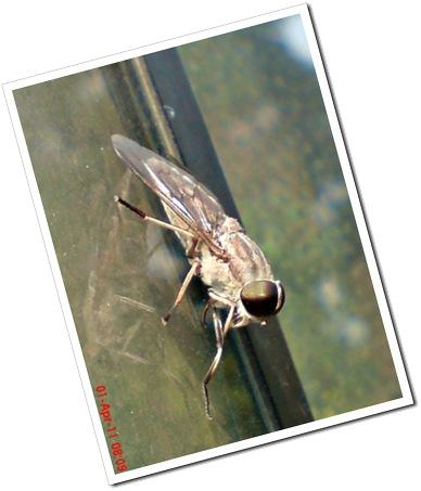 lalat kebo 1