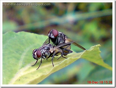 Fly Mating_Musca domestica_Lalat Rumah_House Fly 8