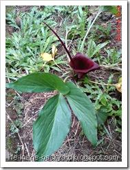 bunga ungu bunga liar 8