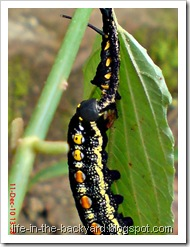 caterpillar molting 9