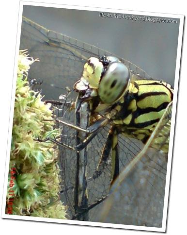 dragonfly eating dragonfly _foto capung badak makan capung 4