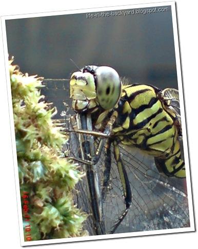 dragonfly eating dragonfly _foto capung badak makan capung 5