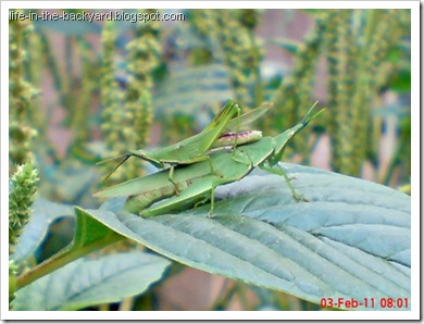 Photos of  69 Style Grasshopper mating