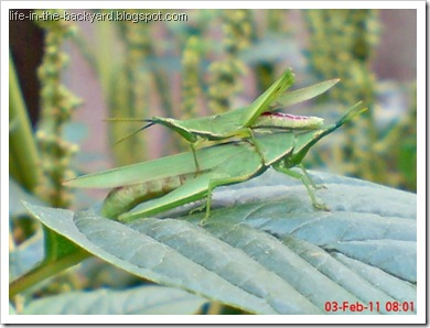 Photos of  69 Style Grasshopper mating 3