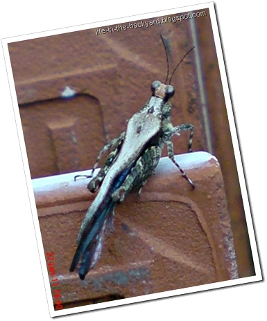 brown grasshopper with orange face
