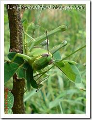 Valanga nigricornis_Javanese Grasshopper_belalang kayu 3