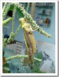 Valanga nigricornis_Javanese Grasshopper_belalang kayu 9