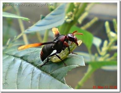 Rhynchium haemorrhoidale_tawon_Potter Wasp 2
