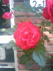 Struik rozen