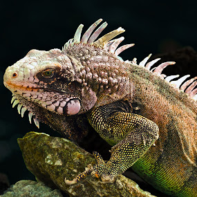 Guardian of the Coast by Peter Kennett - Animals Reptiles ( lizard, kamelian, green, spiny,  )
