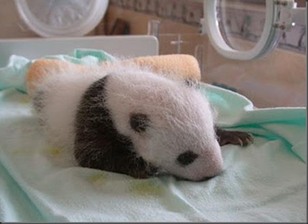 bebe panda (7)