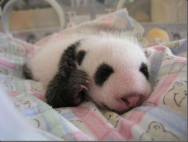 bebe panda (9)