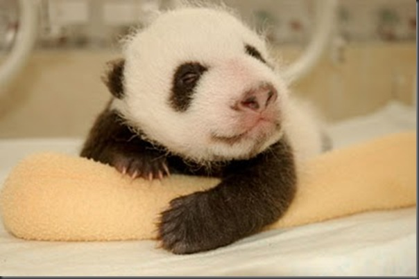 bebe panda (12)