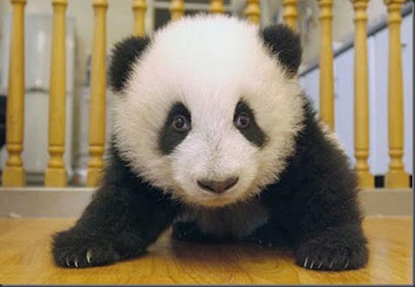 bebe panda (15)
