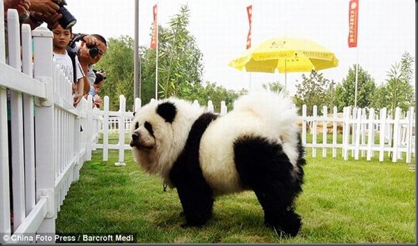 Cães pandas e tigres na China (1)