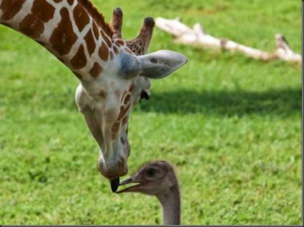 O amor entre uma girafa e um avestruz (7)