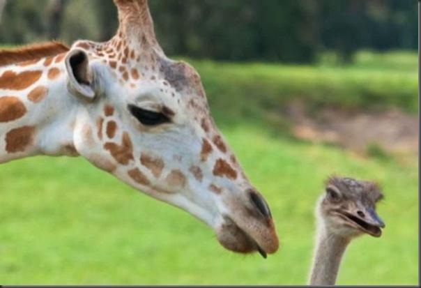 O amor entre uma girafa e um avestruz (5)