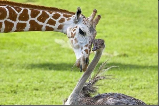 O amor entre uma girafa e um avestruz (1)
