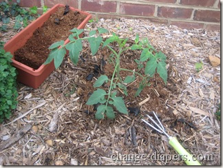 tomato plant august 24