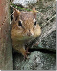 chipmunk_creativecommons