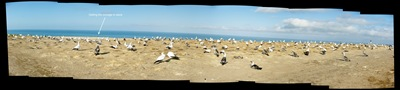 gannet colony pano juvenile about to leave