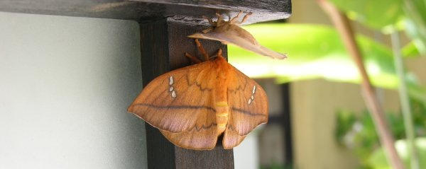 Moths at the spa of Villa Sabandari, one of the newest vacation resorts in Ubud, Bali