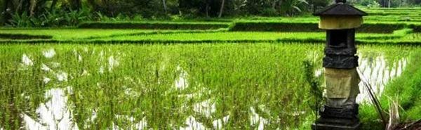 Rijstvelden vlakbij Villa Sabandari, een van de nieuwste hotels in Ubud