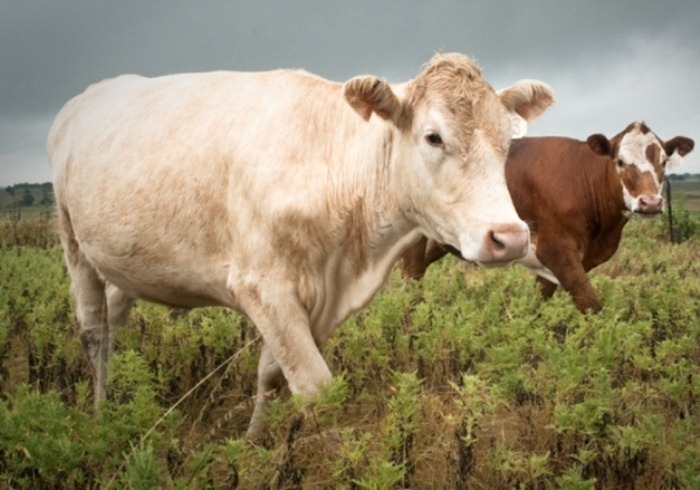 Cattle-on-Pasture-in-Texas-s1_thumb[2]
