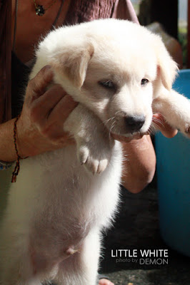 Doggy – Little White