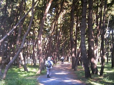 防風林の松林
