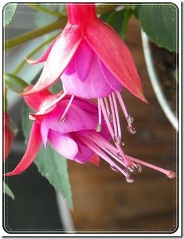 fuchsia allison patricia