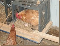chicken coop (3)