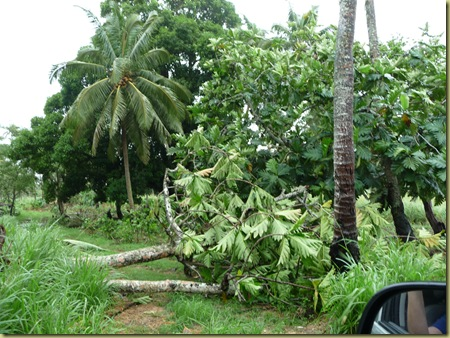 Breadfruit trees uprooted