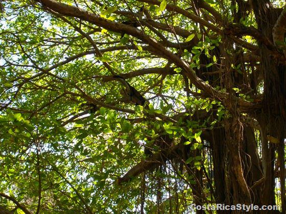 Costa Rican Mokey in the tree