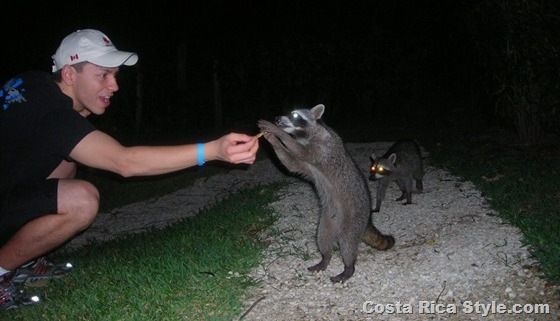 Costa Rica Raccoon 2