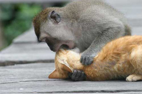 your monkey will make short work of your girlfriend's cat
