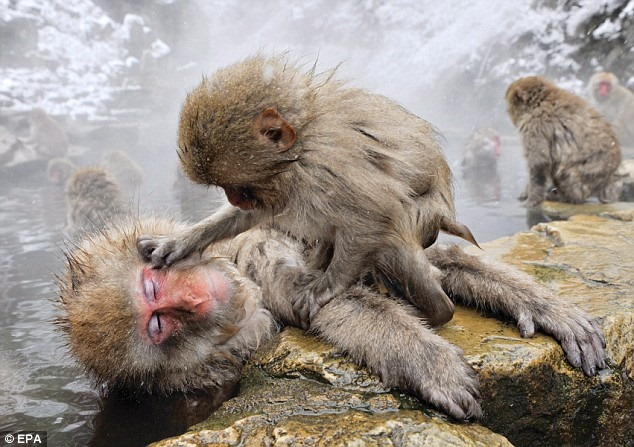 snow-monkeys (6)